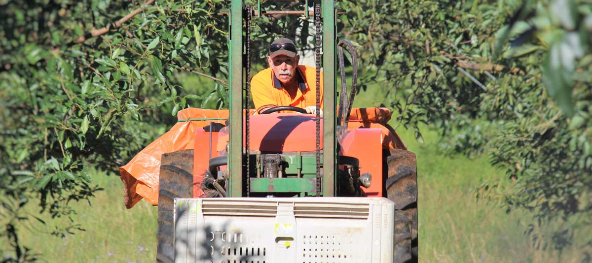 A farm worker drives a tractor through an orchard