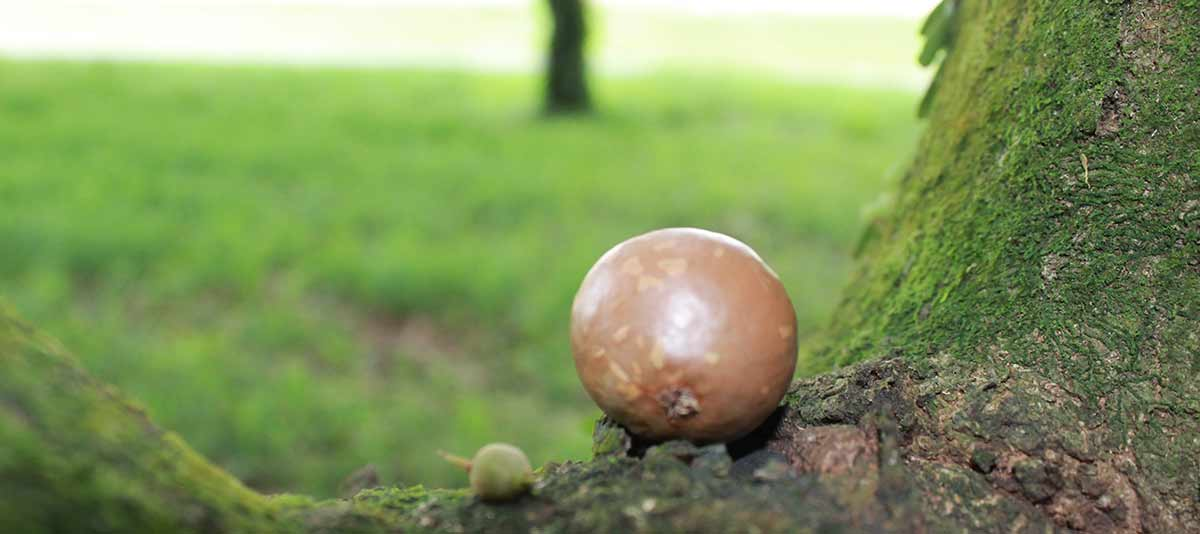 A macadamia nut near the base of the tree