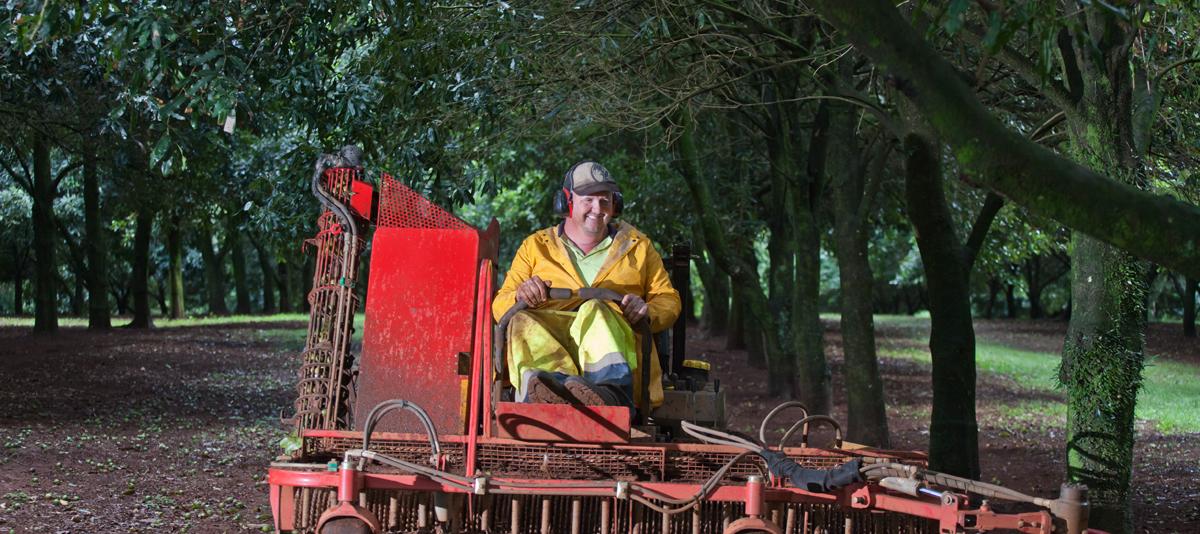 A farm worker drives a macadamia harvesting machine through an orchard