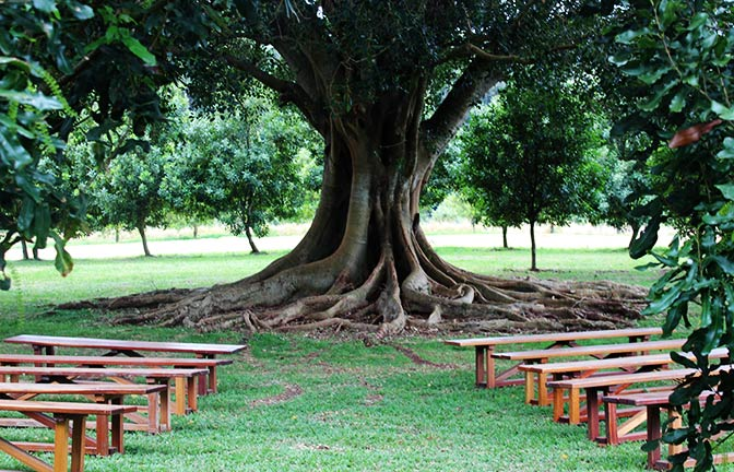 Rows of bench seats outdoors under a spreading fig tree